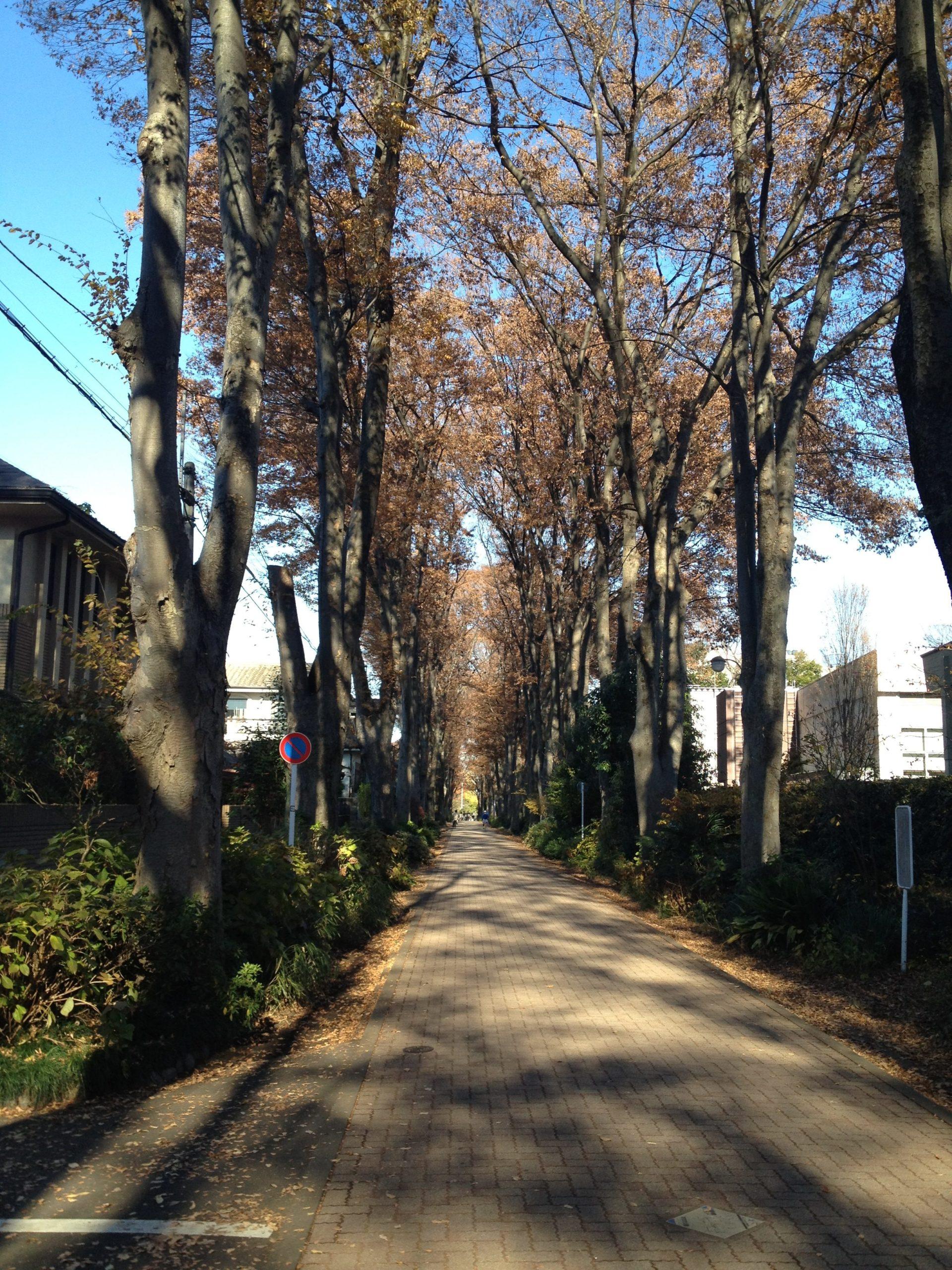 21-1 成蹊けやき並木散歩 写真