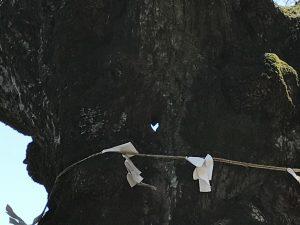 碓氷峠熊野神社 しなの木