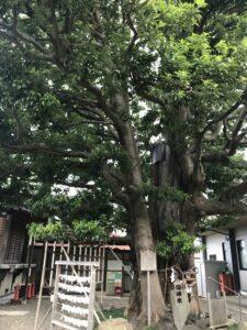 IK11_白山神社ご神木(椨)
